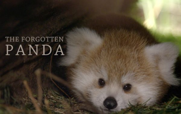 The Forgotten Panda