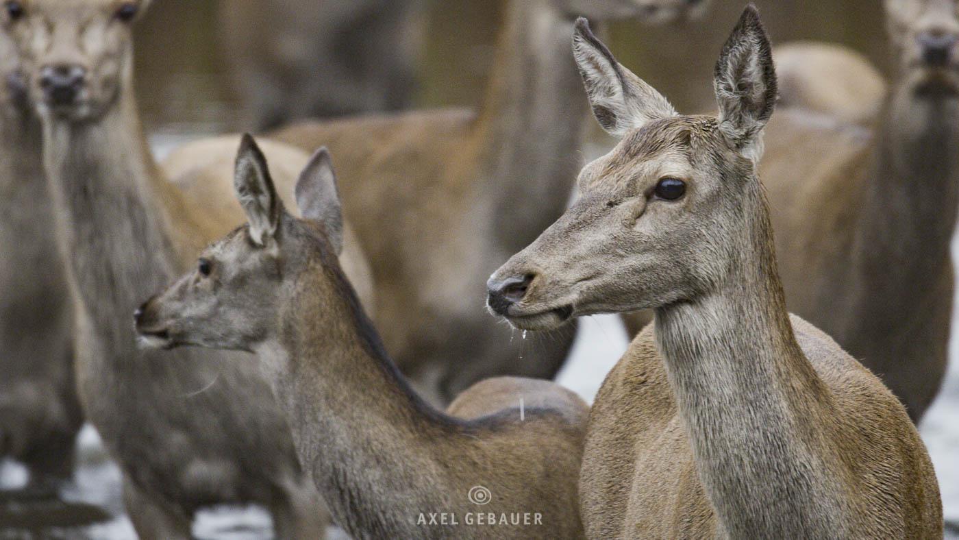 Red Deer, Rothirsch