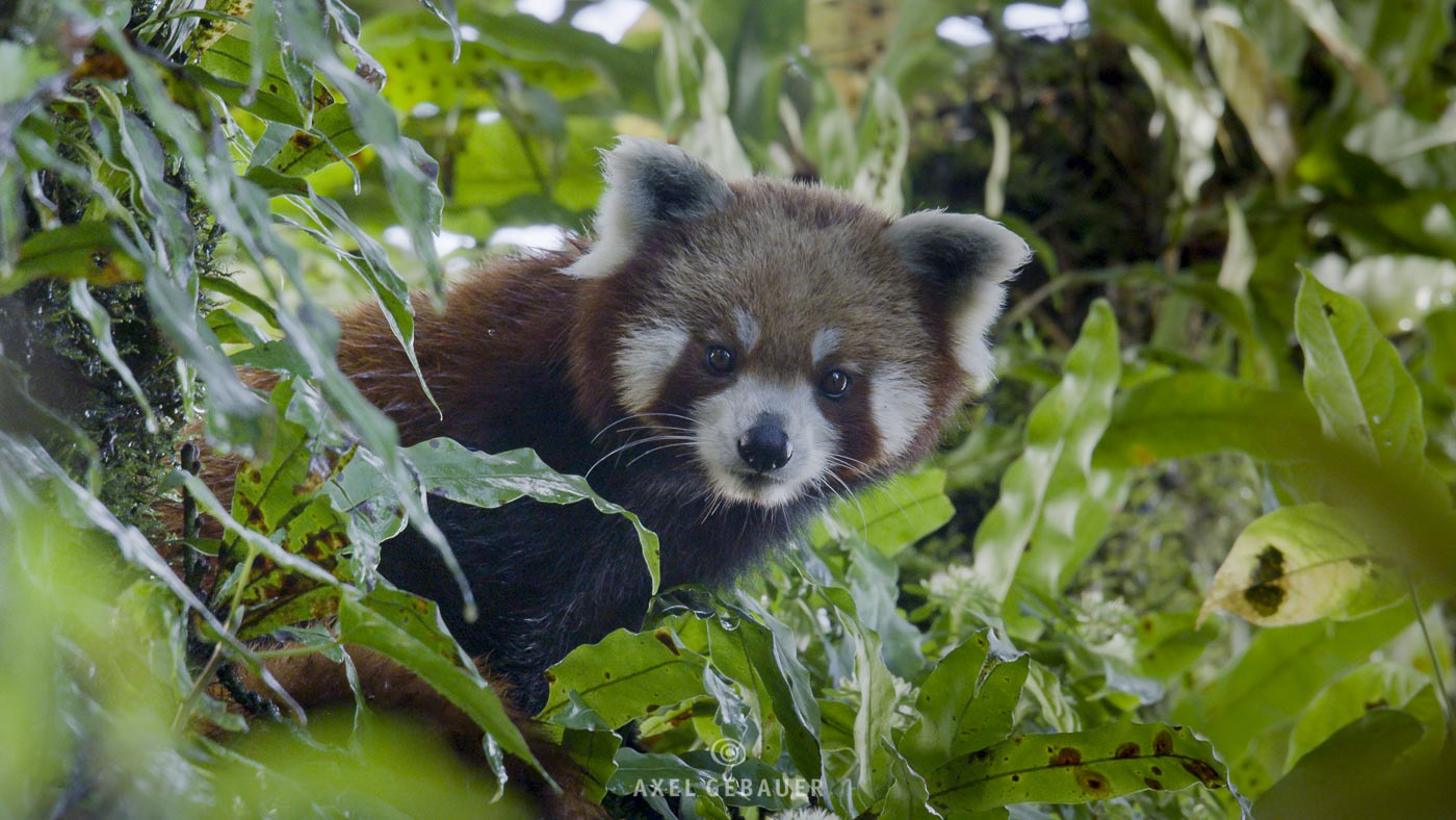 Red Panda in its natural habitat during monsoon season, Eastern Nepal