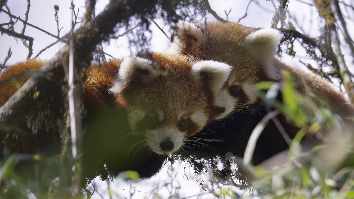 young Red Pandas, wild, Eastern Nepal