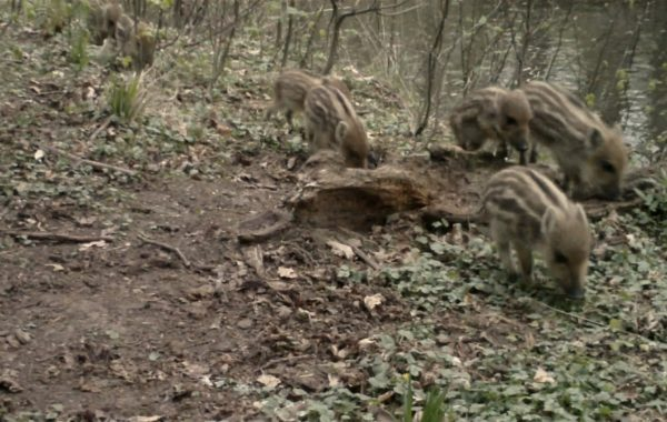 Young boars