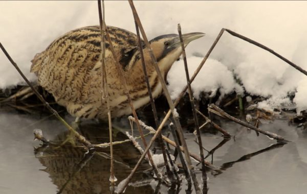 Great Bittern Winter