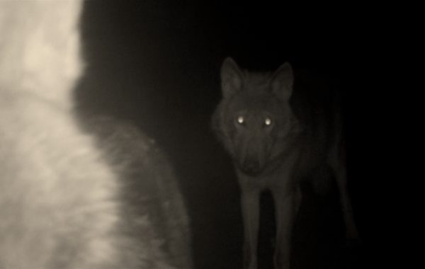 Wolf Cam Play