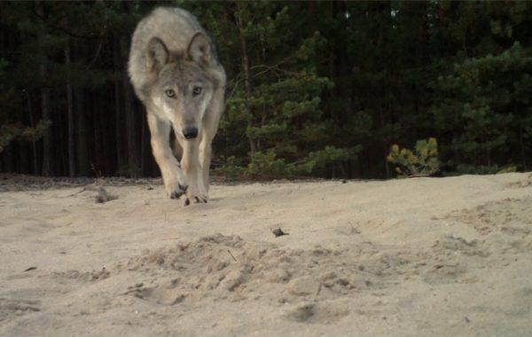 WolfPlay